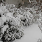 Bushes buried in snow